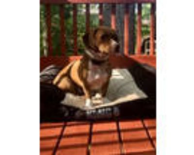 Adopt GUS B (Foster or Foster-To-Adopt) a Basset Hound, Beagle