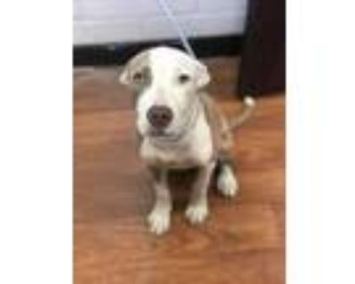 Adopt 063021 Elvis a White American Pit Bull Terrier / Mixed dog in Baton Rouge
