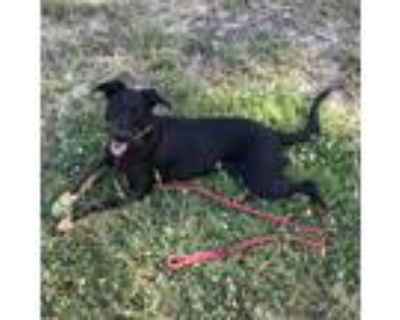 Adopt Luna a Black - with Tan, Yellow or Fawn Doberman Pinscher / Mixed dog in