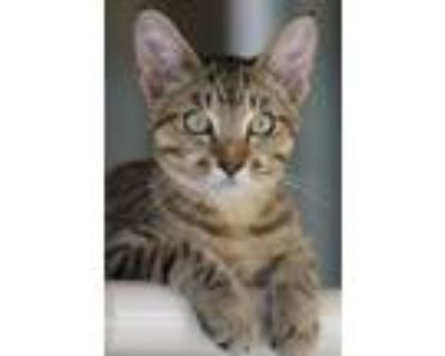 Adopt Lincoln a Domestic Shorthair / Mixed cat in North Fort Myers