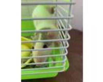Adopt Fortuna Azzurra a White Rat small animal in Imperial Beach, CA (32081320)