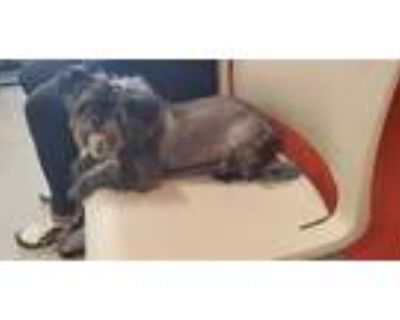 Adopt LUMPKIN a Black - with Gray or Silver Shih Tzu / Mixed dog in Louisville