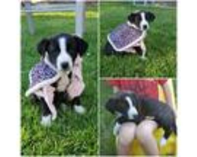 Adopt Bella a Black - with White Border Collie / Mixed dog in Idaho Falls