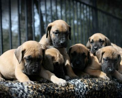 Great Dane Puppies Fawn Veterinarian Owned