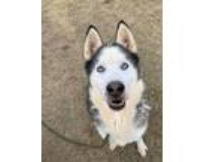 Adopt Bronco a Siberian Husky