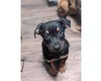 Adopt Ray Stantz a American Pit Bull Terrier / Mixed dog in Germantown