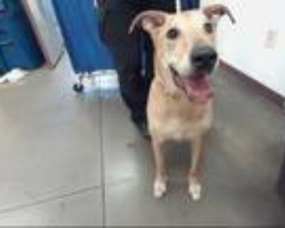 Adopt ELIZABARK a Labrador Retriever, Pit Bull Terrier