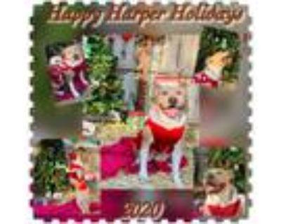 Adopt Harper a American Staffordshire Terrier