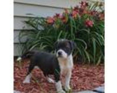 Adopt Flower a Black - with White Labrador Retriever / Pit Bull Terrier / Mixed