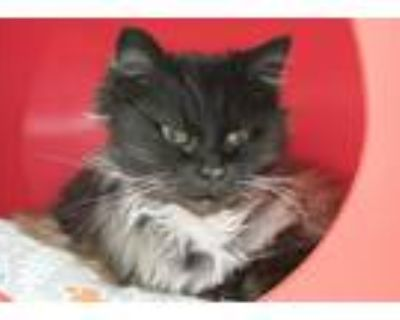 Mitsi, Domestic Longhair For Adoption In Noblesville, Indiana