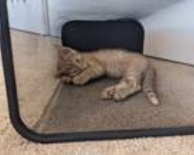 Adopt Roger a Domestic Shorthair cat in Denver, CO (32112848)