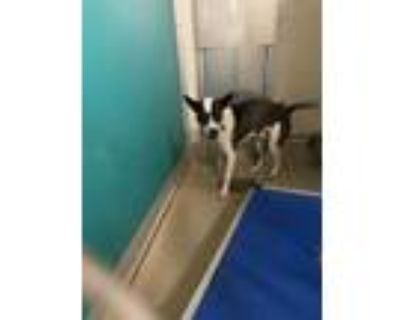 Adopt MOSLEY a Brown/Chocolate - with White Whippet / Basset Hound / Mixed dog