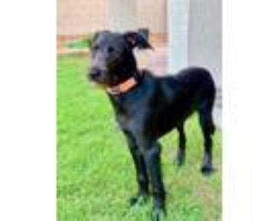 Adopt Bucky a Black Labrador Retriever / Pointer / Mixed dog in Phoenix
