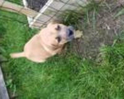 Adopt Max a Tan/Yellow/Fawn Labrador Retriever / Mountain Cur / Mixed dog in