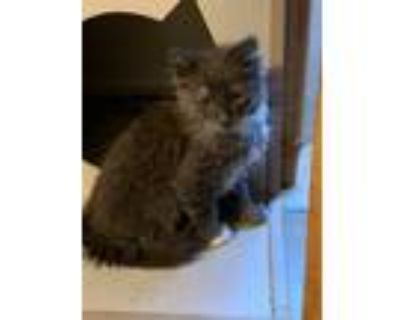 Adopt Cheese a Gray or Blue (Mostly) Domestic Longhair cat in Tucson