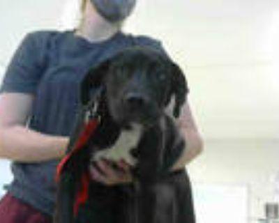 Adopt TUCKER a Black Labrador Retriever / Mixed dog in Atlanta, GA (31656592)