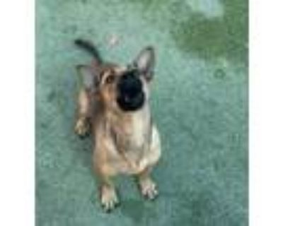 Adopt Biggie a Brown/Chocolate Shepherd (Unknown Type) / Mixed dog in El Paso