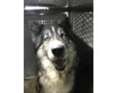 Adopt 48013639 a Gray/Blue/Silver/Salt & Pepper Husky / Mixed dog in Fort Worth