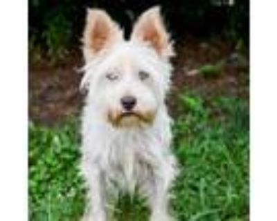 Adopt Tonka 11072 a White - with Tan, Yellow or Fawn Terrier (Unknown Type