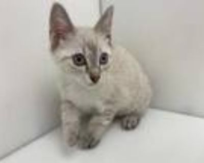 Adopt Misty a Cream or Ivory Siamese / Domestic Shorthair / Mixed cat in