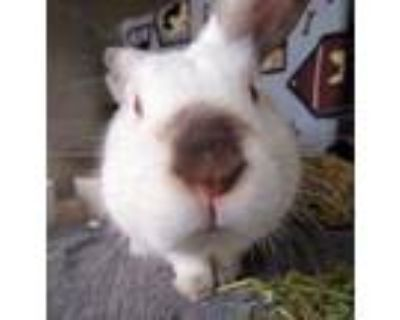 Adopt Malcolm a White American / American / Mixed rabbit in Williamsburg