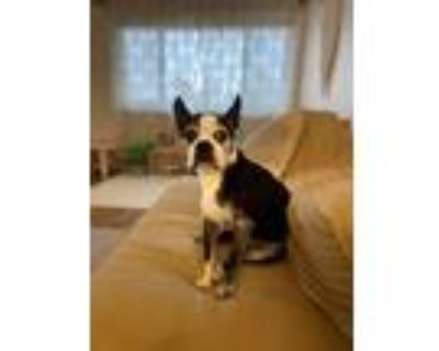 Adopt Stuart a Black - with White Boston Terrier / Mixed dog in Boulder