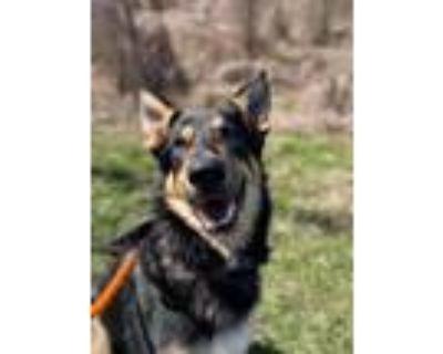 Adopt Ross a German Shepherd Dog