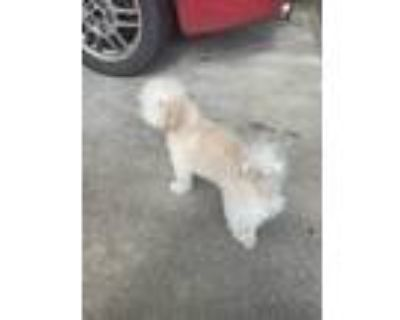 Adopt Tinkerbell a Tan/Yellow/Fawn - with White Poodle (Miniature) / Mixed dog