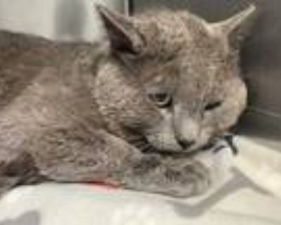Adopt REEF a Gray or Blue Domestic Shorthair / Mixed (short coat) cat in
