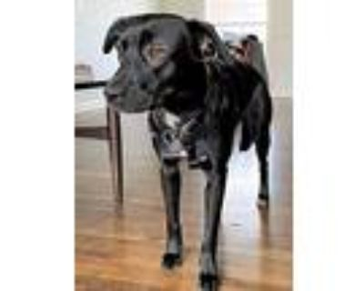 Bodhi, Labrador Retriever For Adoption In Norfolk, Virginia