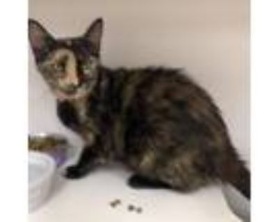 Adopt Callie a All Black Domestic Shorthair / Mixed cat in Blasdell
