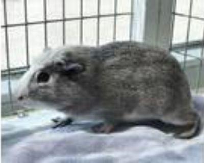 Adopt NINOS a Guinea Pig