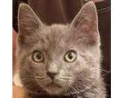 Adopt Jack a Gray or Blue Domestic Shorthair / Domestic Shorthair / Mixed cat in