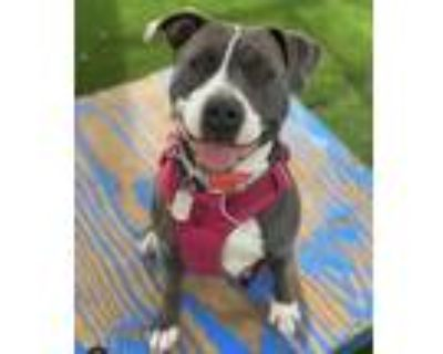 Adopt Gabby a Pit Bull Terrier, American Staffordshire Terrier
