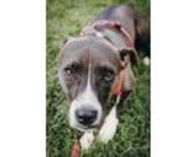 Adopt Z - Gizmo - Improving! a American Staffordshire Terrier