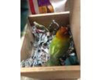 Adopt Hei Hei a Green Lovebird / Mixed bird in Largo, FL (31937667)