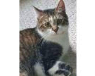 Adopt Tigger a Tan or Fawn Tabby American Shorthair / Mixed (short coat) cat in