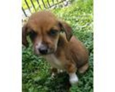 Adopt Holden a Brown/Chocolate - with White Mountain Cur / Beagle dog in
