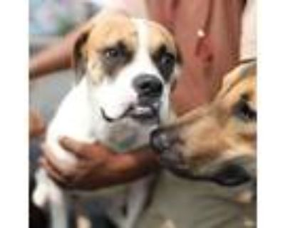 Adopt Anne a White - with Tan, Yellow or Fawn Boxer / Mixed Breed (Medium) /