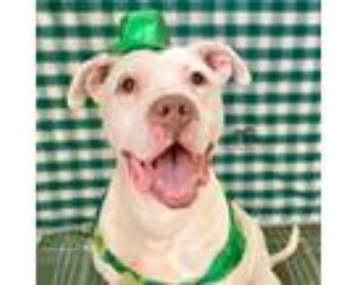 Adopt SYLBY a White American Pit Bull Terrier / Mixed dog in Chicago Ridge