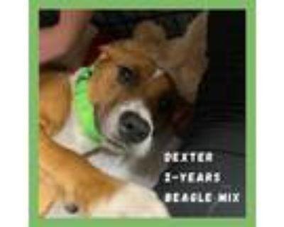Adopt Dexter a Red/Golden/Orange/Chestnut - with White Beagle / Hound (Unknown