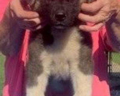 Akita Male & Female Puppies