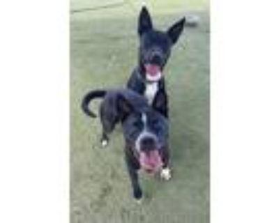 Adopt Fonz and Petunia a Black Labrador Retriever, American Staffordshire