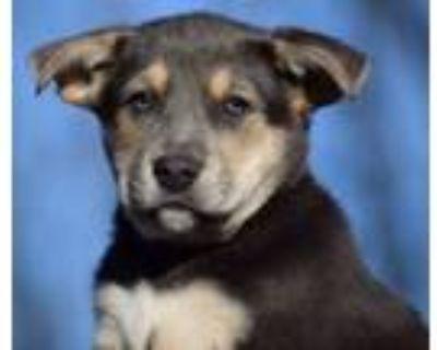 Adopt Cliff-His Adoption is Pending! a Husky, Retriever