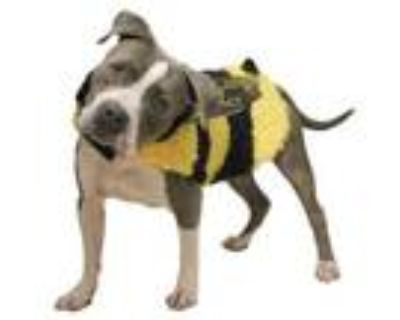 Adopt Nacho a Terrier, Pit Bull Terrier