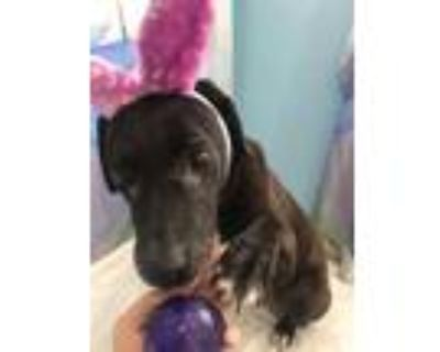 Adopt Pepper a Black - with White American Staffordshire Terrier dog in Sebring