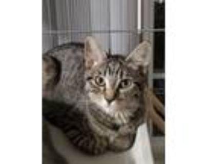 Adopt Galaxy a Domestic Shorthair cat in Calimesa, CA (31842671)