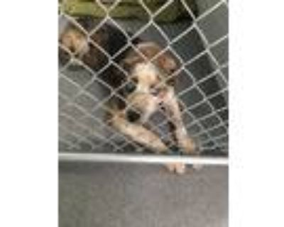 Adopt 48012487 a Black Shepherd (Unknown Type) / Mixed dog in Los Lunas