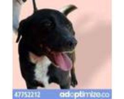 Adopt 47752212 a Black Labrador Retriever / Mixed dog in El Paso, TX (31611249)