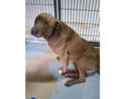 Adopt Coco 6-16 a Labrador Retriever, Mixed Breed